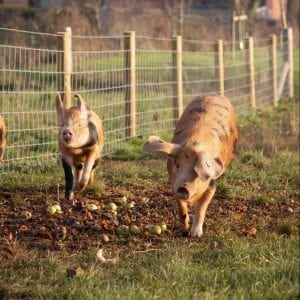 Pigs at symondsbury estate