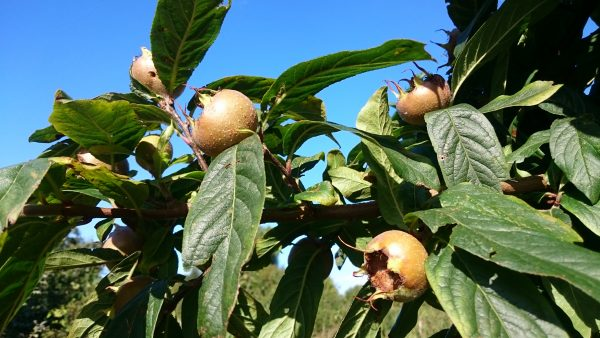 medlars in tree