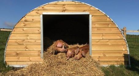 Symondsbury Estate Pigs